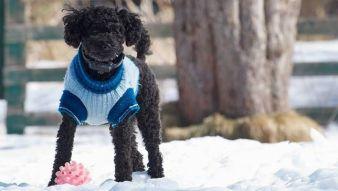 doggie-sweater.jpg.653x0_q80_crop-smart