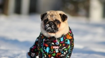 pug_dog_snow_jacket_winter_94392_1280x720